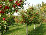 CRJ Fruit Trees